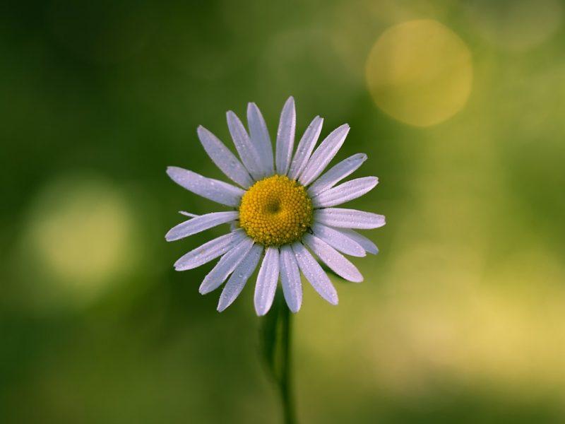 daisy-2491831_960_720